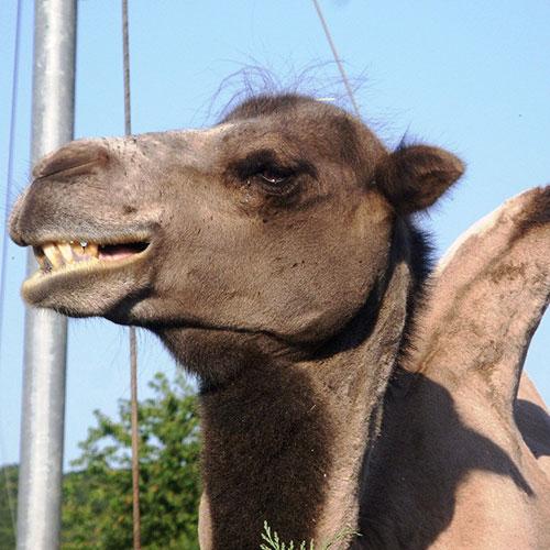 web-Kamele3